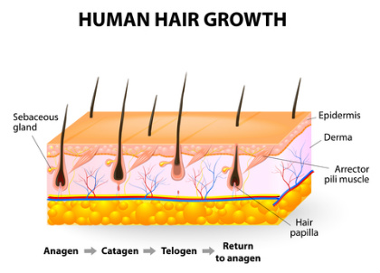 Human Hair Growth Diagram