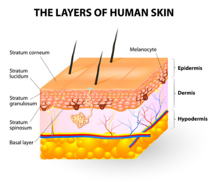 understand how the skin layers work for repair, Human Body